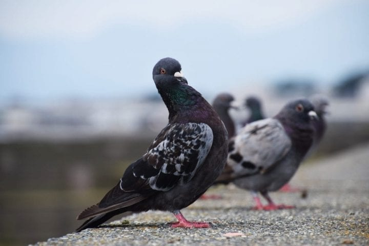 Pigeons standing together