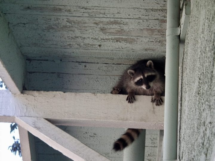Raccoon hiding house