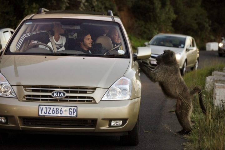 Rogue baboon harasses tourists