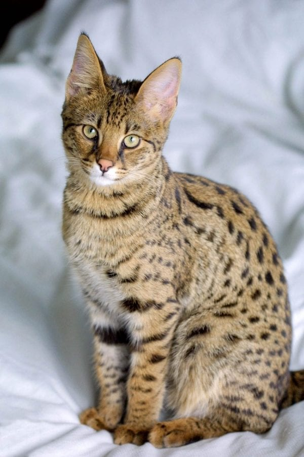 Savannah cat breed unusual wild markings