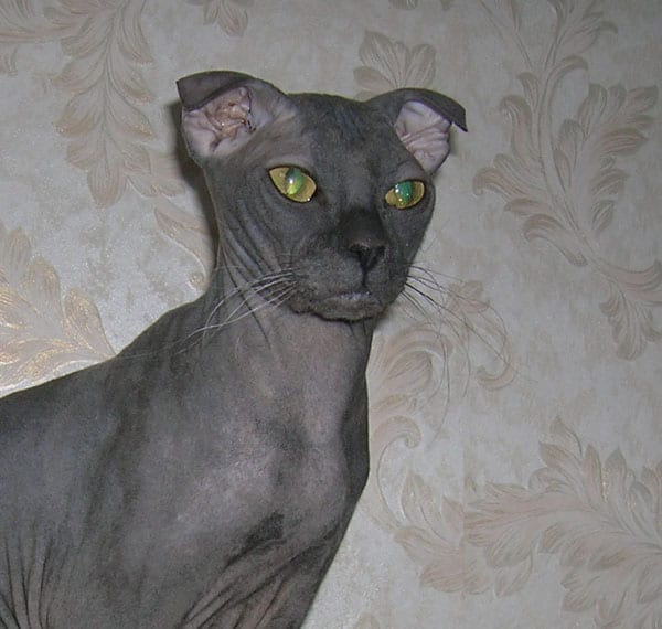 Ukrainian levkoy cat unique