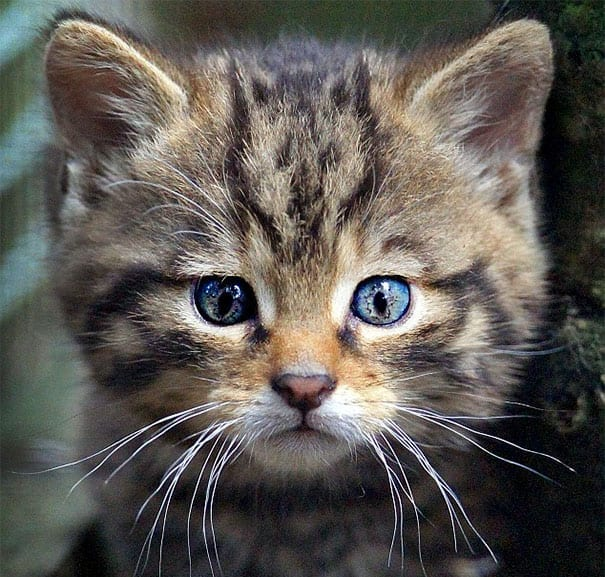 Wildcat kitten unusual marking pattern cute