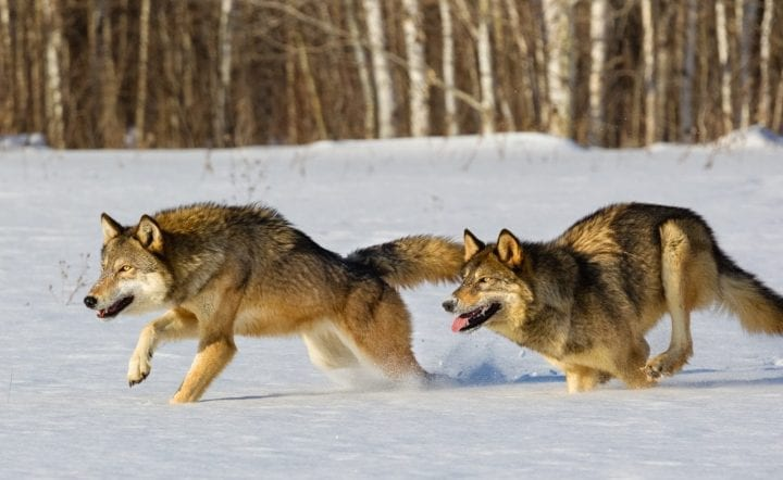 Wolves running in the snow