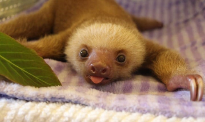 Why do sloths move so slowly?