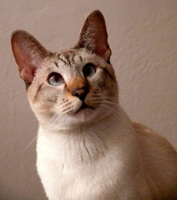 Part siamese cat breed markings unique