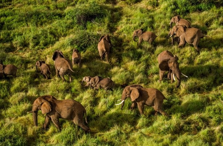 a bunch of elephants climbing through grass