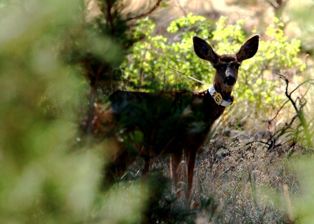 Deer chronic wasting disease