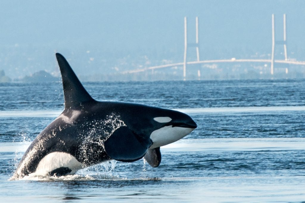 Orca Mystery Solved? Photo Evidence Of A New Killer Whale Species
