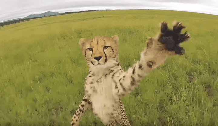 cheetah attacks drone
