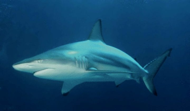 blacktip shark in the ocean