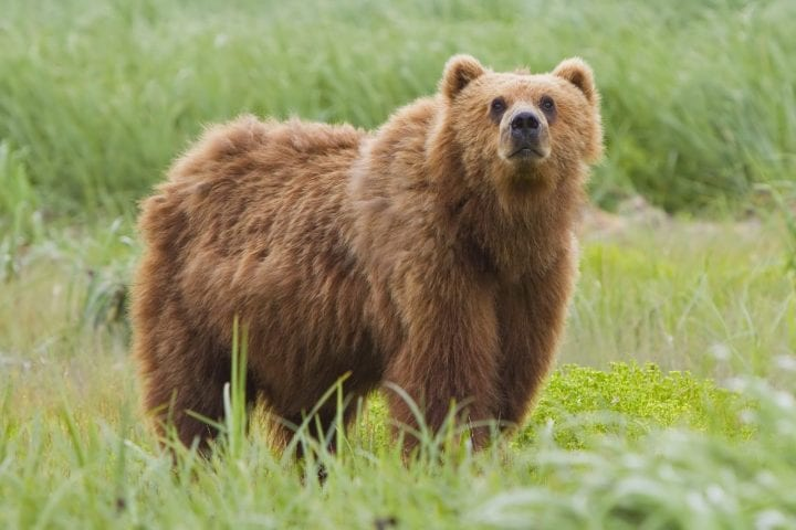 Kodiak bear ranging in the wild