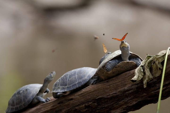 Butterflies drink turtle tears weird behavior