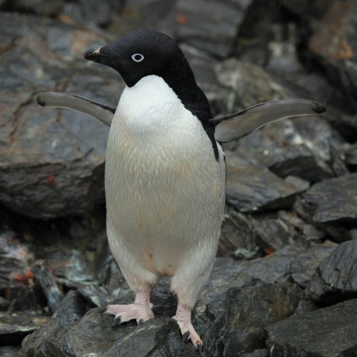 Adelie penguin cute dark side animal