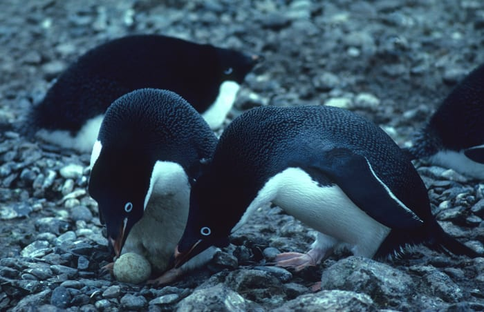 Adelie penguins nesting dark side cute animals