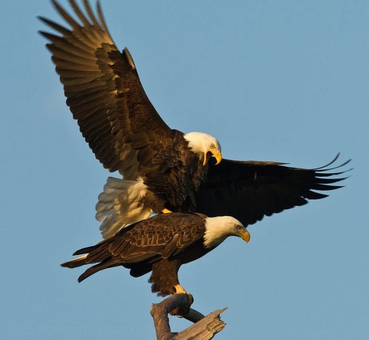 Bald eagles mating weird animal behavior