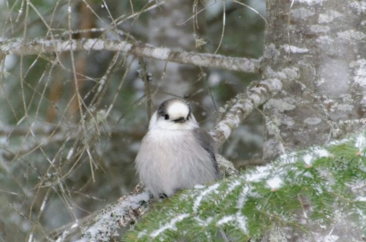 Canada gray jay cute animal