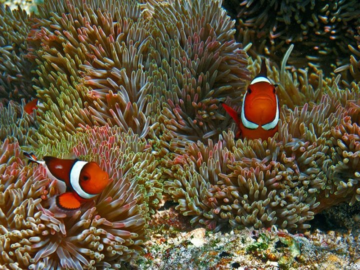 Clownfish sea anenome weird behavior animal