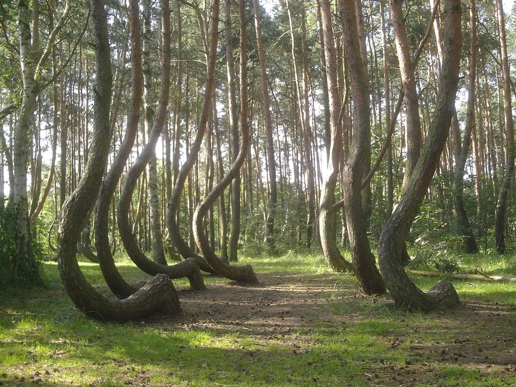 Crooked forest poland creepy nature