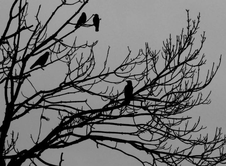 Murder of crows tree
