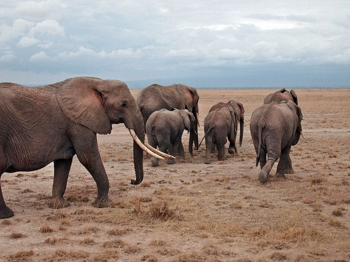 Elephant herd kenya weird animal behavior