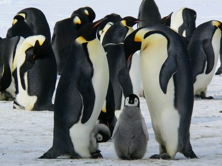 Emperor penguins chicks cute animals
