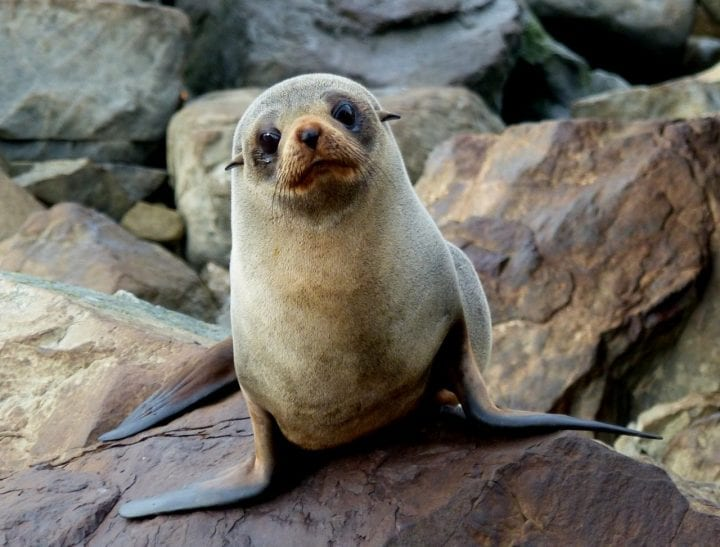 Fur seal cute animal dark side