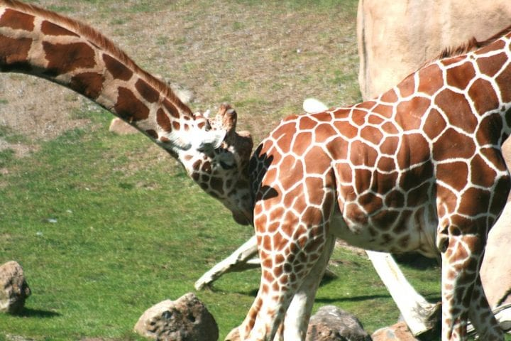 Giraffe mating courting male weird animals