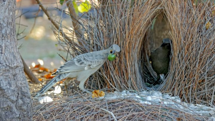 Great bowerbird bower mating