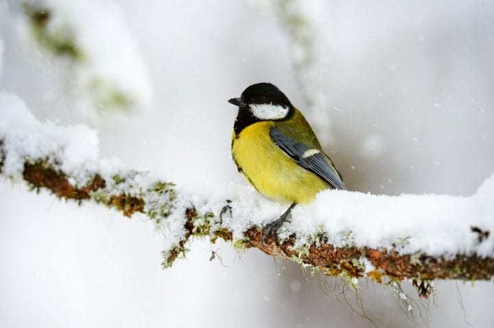 Great tit bird cute animal