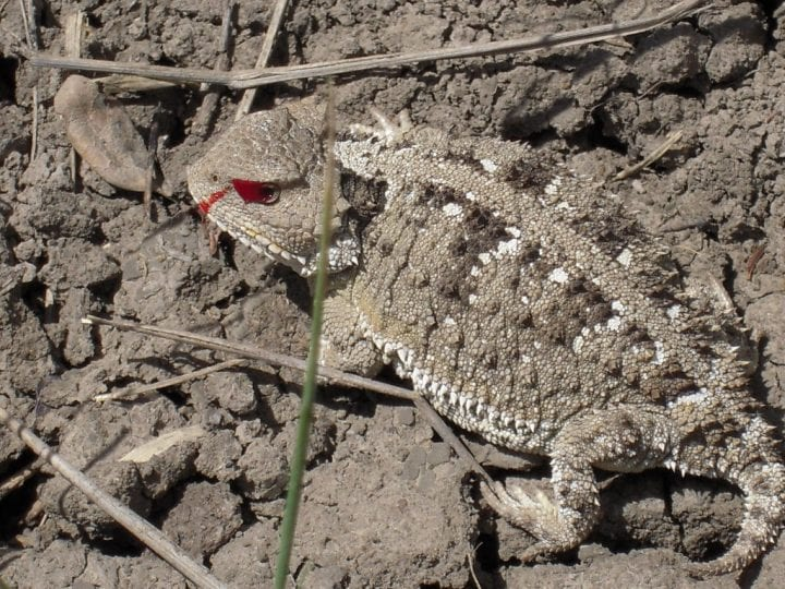 Horned lizard blood eye weird animal