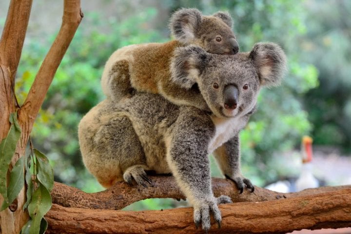 Koala mom and baby cute animals dark truth