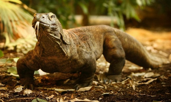 Komodo dragon virgin birth weird animal behavior