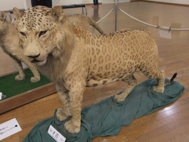 a leopon on display