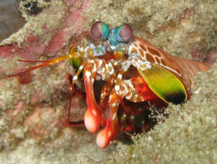 Mantis shrimp animals cool