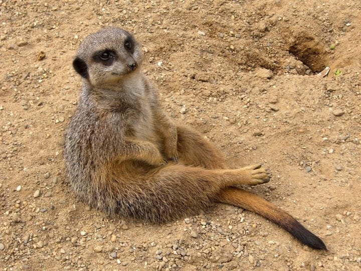Meerkat adorable animal dark side cute
