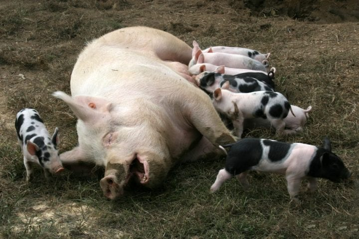 pigs giving milk