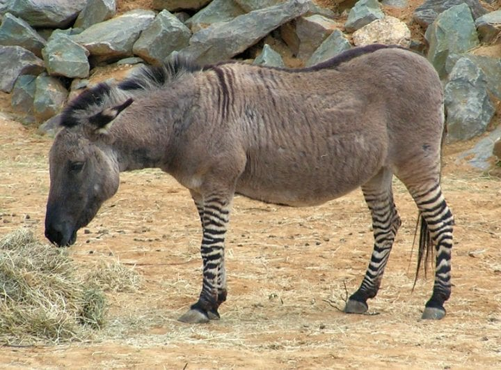 zonkey hybrid feeding on grass