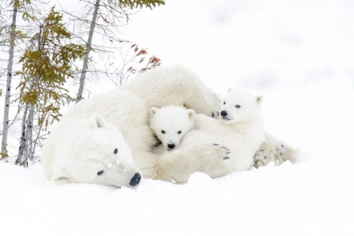 Polar bears cute cannibals adorable dark side animals