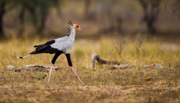 Secretary bird animal weird