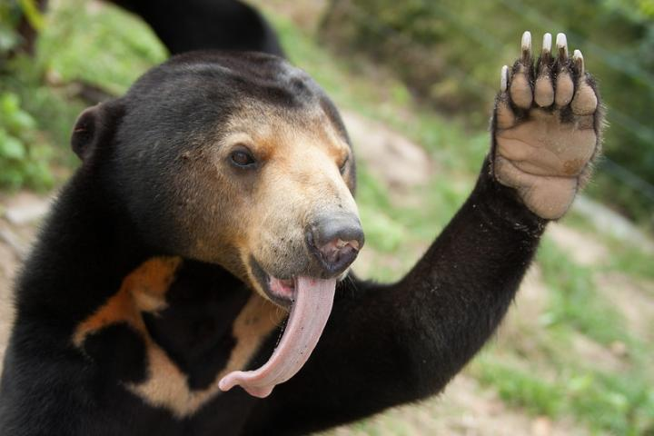 The cutest, silliest bears you will ever see: sun bears!