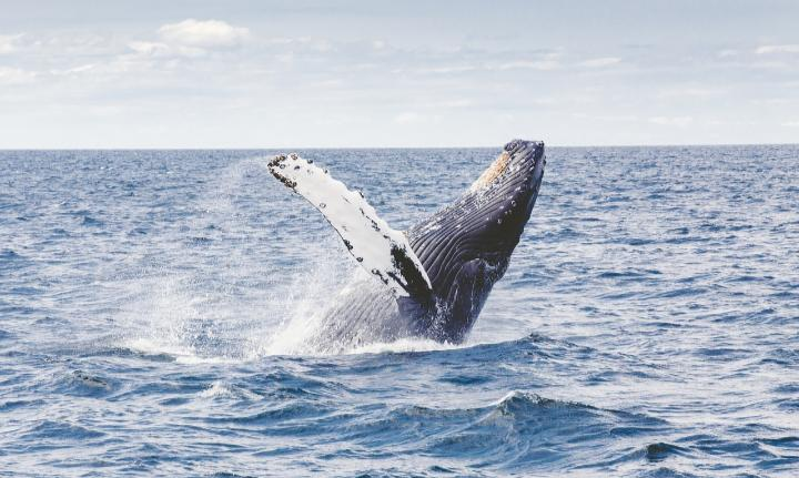 Humpback Whales Are Having Problems, Here's Scientists Think Is Going On