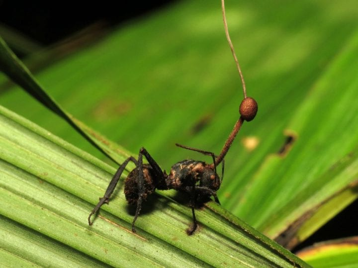 Zombie ant parasitic fungus