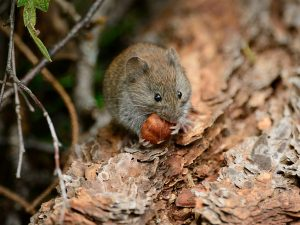 Bank vole eating, consume radiation, Chernobyl