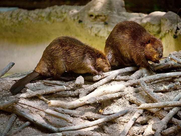 Beavers building dam, beaver genitals used as contraceptive