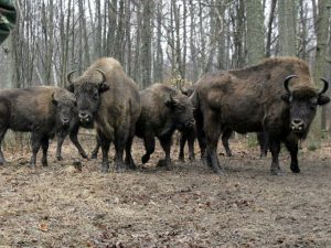 Bison in the 30-km exclusion zone around the Chernobyl nuclear reactor.