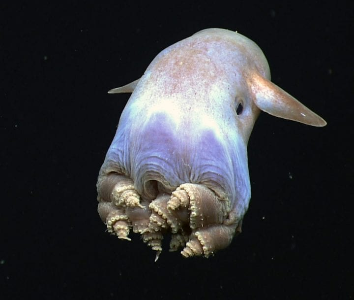 One of the highlights of the dive, a dumbo octopus uses his ear-like fins to slowly swim away – this coiled leg body posture has never been observed before in this species.