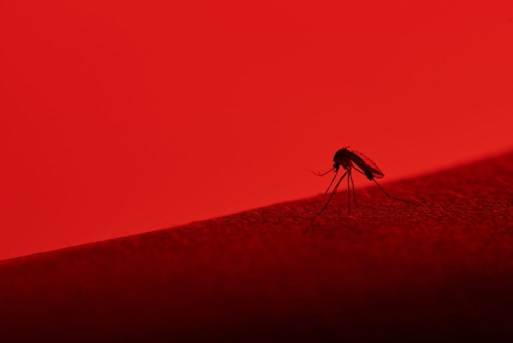 macro of mosquito sucking blood isolated on red