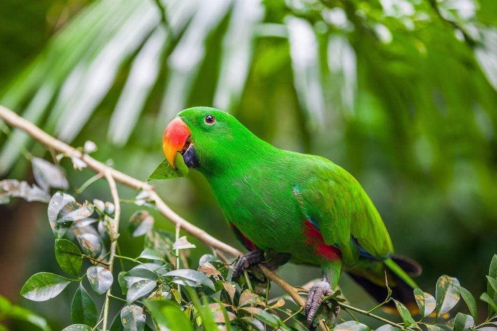 Green eclectus parrot sitting on branch with green leaves in Zoo