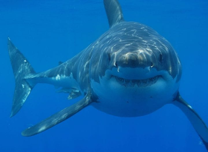 great white in the sea looking at camera