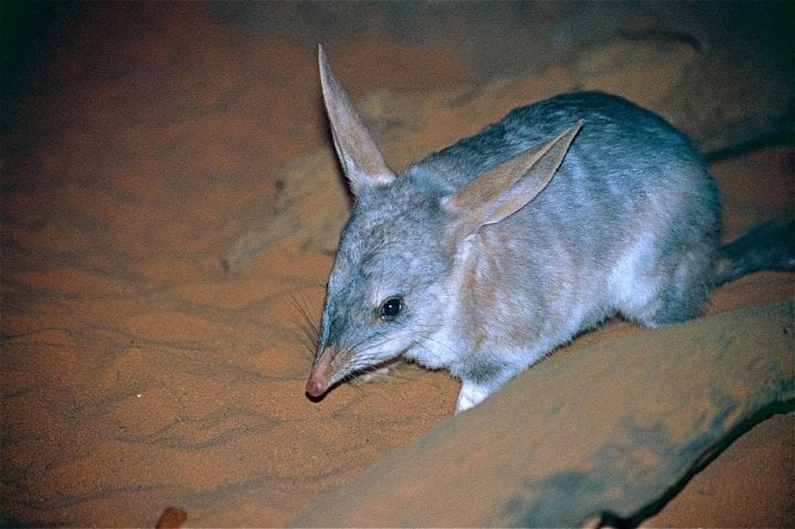 an animal with giant ears